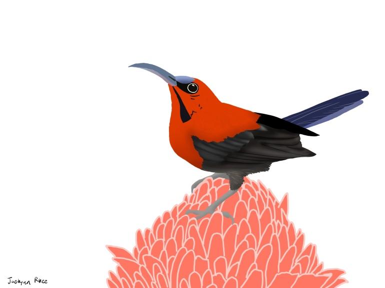 Crimson_sunbird 2
