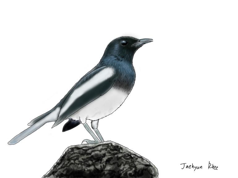 Oriental_Magpie_Robin